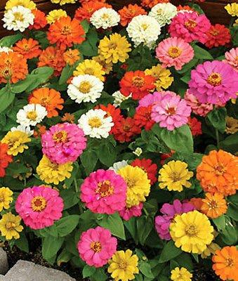 50 Annual Flower Garden Seeds - Dwarf Zinnia -quotthumbelina&quot Shorter Variety