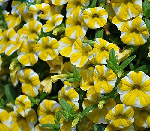 Scarce Rare Lemon Slice Superbells Calibrachoa Petunia Annual Flower Seeds 200 Seeds  Pack