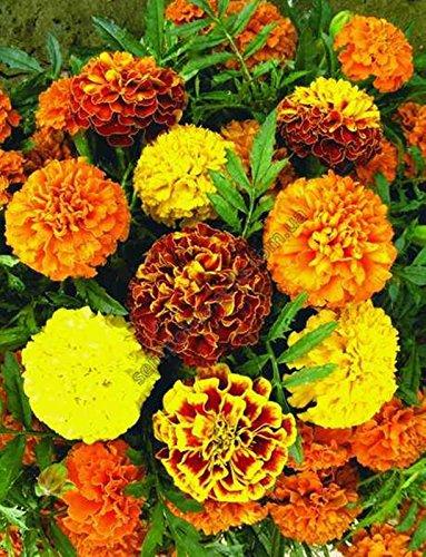 Seeds Marigold - Tagetes Otklonennyye Smes Organic Annual Flowers Mixture