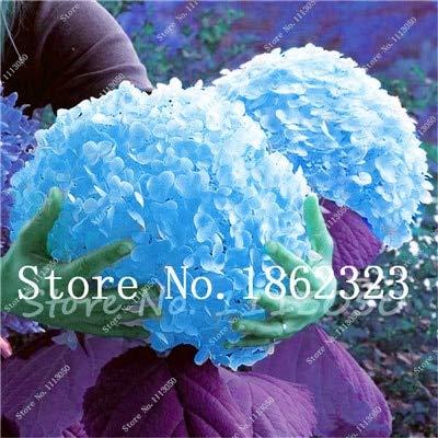 100 Pcs Rainbow Hydrangea Seeds Indoor Flower Seeds Courtyard Terrace Seeds Perennial Seeds Flowers Easy to Grow  2