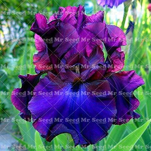 20Pcs Iris SeedsSeeds Flower Seeds Heirloom Iris Tectorum Perennial Flower Seeds for Home Garden Indoor Flower Seeds  16