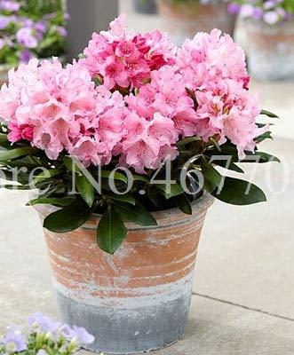 50Pcs Ese Azalea Seeds Rhododendron Azalea Indoor Flower Seeds Cover Flower DIY Seeds Home Garden Decor
