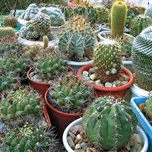 Cactus mix A mixture of varieties indoor Flower Seeds from Ukraine