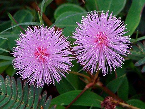 Mimosa pudica indoor Flower Seeds from Ukraine