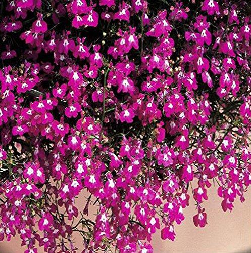 NP mart -100true lobelia seeds Rare indoor flower seeds in BonsaiChlorophytum flower seeds for Perennial Home Garden Plants100pcsbag