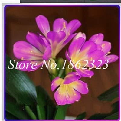 Sle50Pcs Clivia Seeds Indoor Flower Seeds for Balcony Seeds Perennial Flower Seeds Kaffir Garden  13