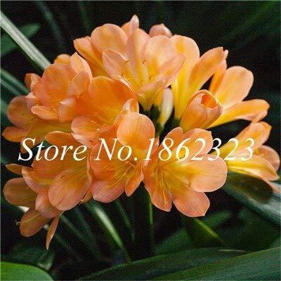 Sle50Pcs Clivia Seeds Indoor Flower Seeds for Balcony Seeds Perennial Flower Seeds Kaffir Garden  5