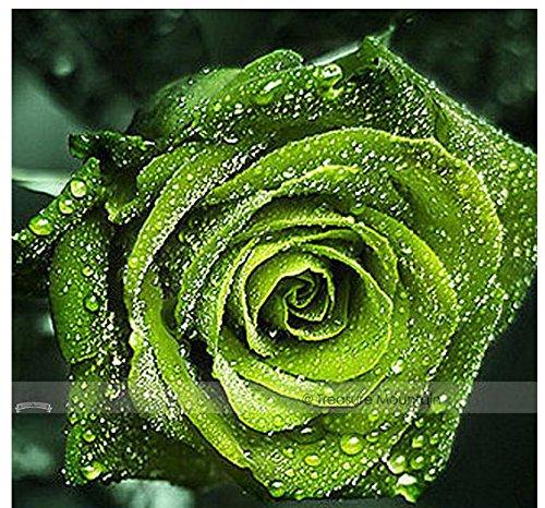 1 Professional Pack 50 Seeds  Pack Dark Green European Rose Bush Seed Fragrant Flower Garden Plant Nf407