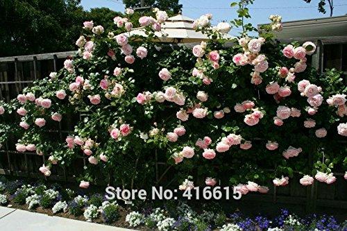 100 Rose Eden Climber Seeds Climbing Rose Seeds Bonsai Flower And Garden Plants Seeds