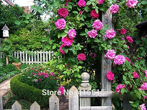 100 Rose Zephirine Drouhin Seeds Bourbon Heirloom Pink Rose Climber Climbing Rose Seeds Bonsai Flower And Garden Plants Seeds