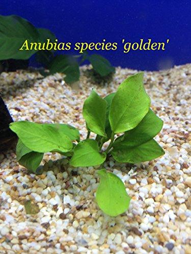 Anubias Species golden - Loose Plant L168 - Buy 2 Get 1 Free
