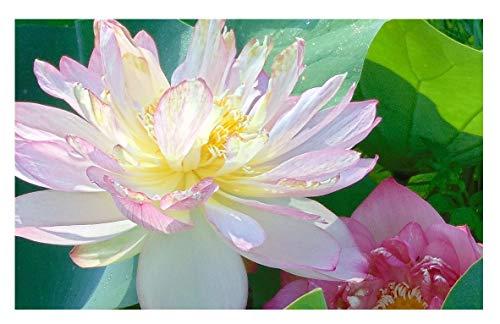 Beautiful Dancer Pink Oriental Lotus Live Aquatic Plant Grown in Licensed Florida Aquatics Plants Nursery