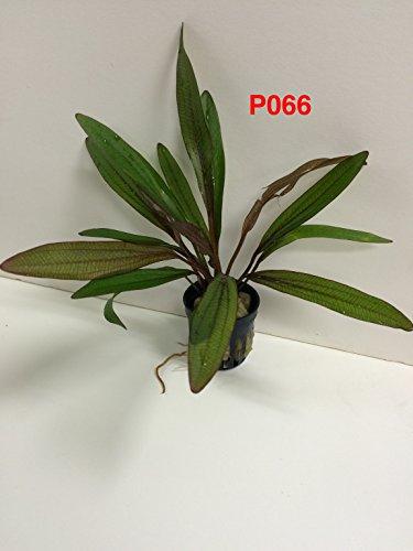 Echinodorus horemanii Red - Potted Plants P066 - BUY 2 GET 1 FREE Live Aquatic Plant Online