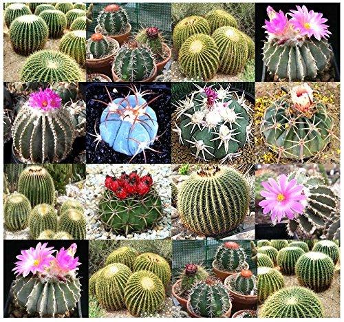 20 x Echinocactus Species Mix - Includes Golden Barrel Cactus - Mix Seeds BARREL CACTUS VARIETY - By MySeedsCo by MySeedsCo