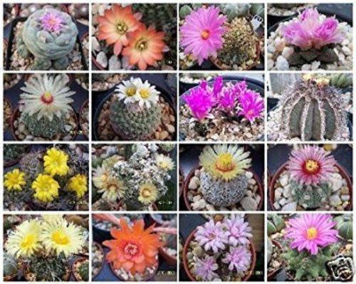 50 seeds Cactus variety mix rare globular columnar garden cacti seed succulents