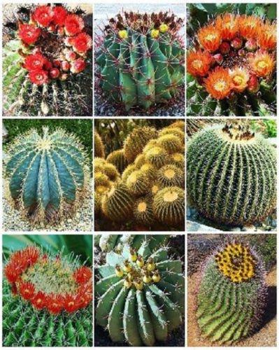 BARREL CACTUS VARIETY mix exotic globular ball cacti rare flower seed 200 SEEDS