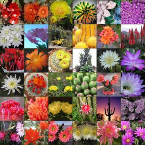 Flowering Cactus cacti variety mix 10 50 100 500 1000