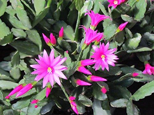 Magenta Pink Rhipsalidopsis Easter Christmas Cactus Plant Cutting Schlumbergera