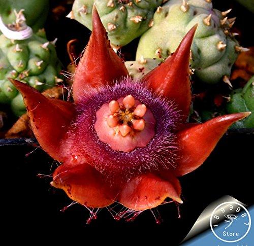 Hot Sale100PCSLot Best rare Cactus Flower Seeds giant shape  heat tolerant Succulent Perennial plant De FloresBBQMBQ