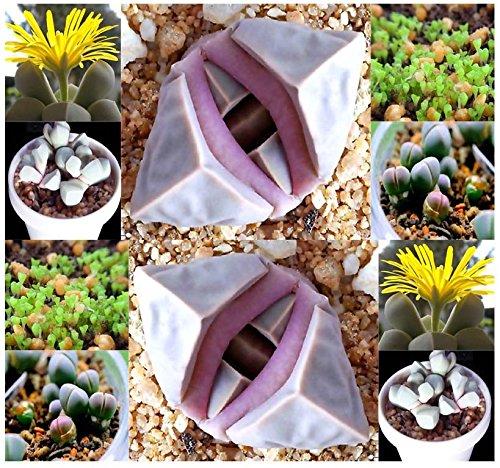 20 Karoo Rose Lapidaria Margaretae - Rare mesembs living rock stome CACTUS cacti Succulent SEEDs - By MySeedsCo