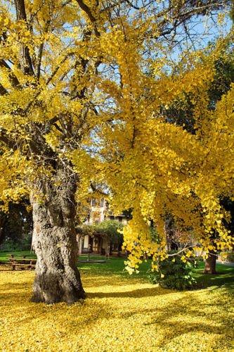 GINKGO BILOBA rare yellow flowering tree china bonsai exotic plant seed 25 seeds