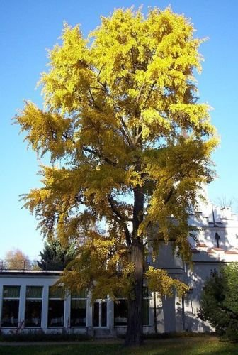 Ginkgo Biloba Rare Yellow Flowering Tree China Bonsai Exotic Plant Seed 5 Seeds