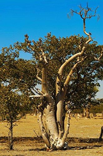 Moringa oleifera rare flowering drumstick tree bonsai exotic plant seed 50 seeds