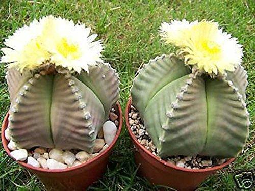 Astrophytum KIKO nudum rare cactus plant cacti 15 SEEDS