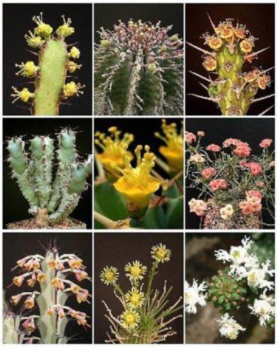 EUPHORBIA VARIETY MIX exotic succulent rare cactus plant seed cacti 100 SEEDS