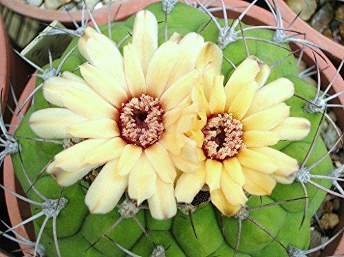 Gymnocalycium marquezii rare cactus plant flowering succulent cacti - 15 seeds
