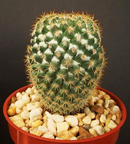 Mammillaria Columbiana rare cactus plant exotic succulent garden flower cacti 4
