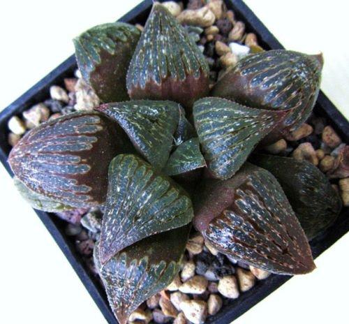 HAWORTHIA FUSCA rare miniature exotic succulent plant cactus aloe seed 20 seeds