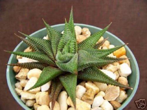 HAWORTHIA Limifolia rare exotic succulent plant xeriscape cactus cacti aloe 4