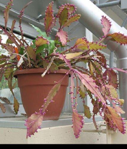 Rhipsalis elliptica rare epiphyllum cacti exotic succulent plant seed 20 SEEDS