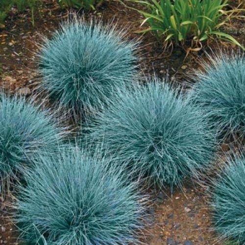 500 ORNAMENTAL GRASS SEEDS - BLUE FESCUE - BEAUTIFUL BLUE-GREEN PERENNIAL GRASS