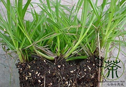 Perennial Grass Paspalum Notatum Seeds 600pcs Landscape Used Pensacola Bahia Gardening Seeds Family Poaceae Bahia Grass Seeds