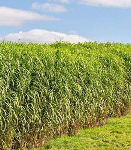 500 Fresh Seeds Native Prairie Tall Grass Switch Grass Perennial Flower - CBR12