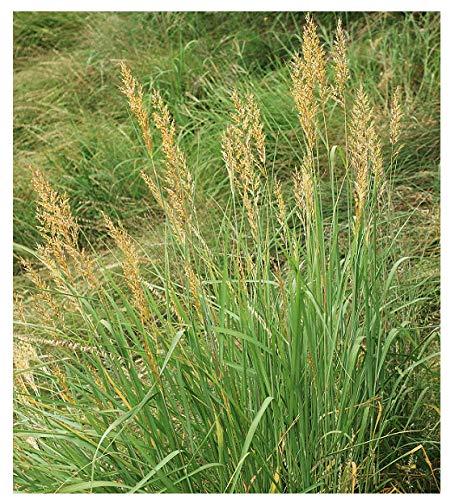 Indiangrass Seeds - Tall Grass Prairie Inhabitant - Can Reach 7 Feet in Height
