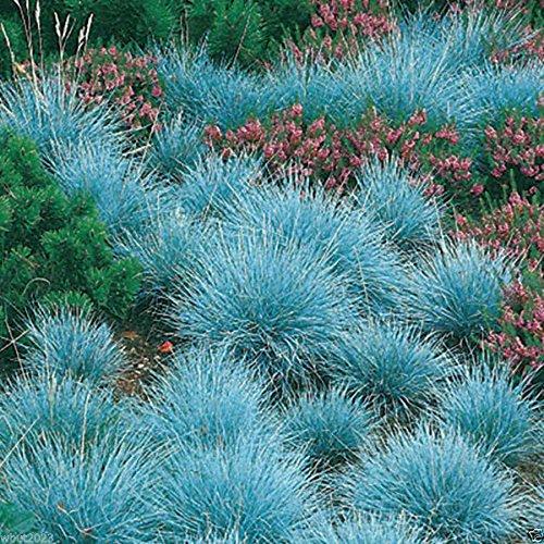 300 Blue Fescueornamental Grass Seeds - Festuca Glauca - Perennial