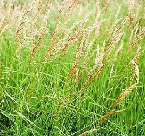 Ornamental Grass Seed - Calamagrostis Canadensis Seeds