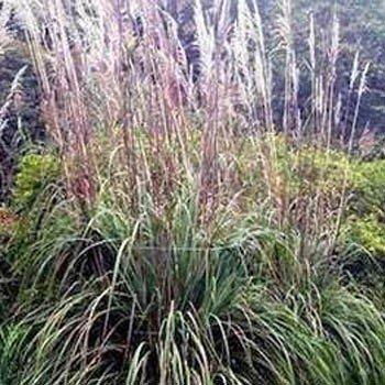 Outsidepride Plume Ornamental Grass - 250 Seeds