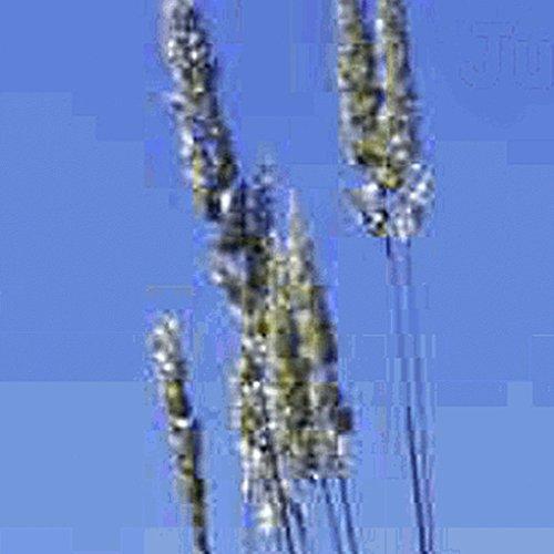 Everwilde Farms - 2000 June Grass Native Grass Seeds - Gold Vault Jumbo Seed Packet