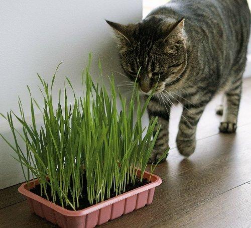 Organic Heirloom 200 Seeds Catgrass Cat Grass Wheat Seeds Garden Wild Herb Vegetable Bulk Seeds F10