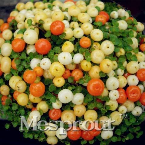 AGROBITS Lamp Beads Grass Bonsai Perennial 100pcs Grass Bush Lamp Beads Grass Bonsai Red Garden Ornamental Easy Grow Perennial Bonsai 3