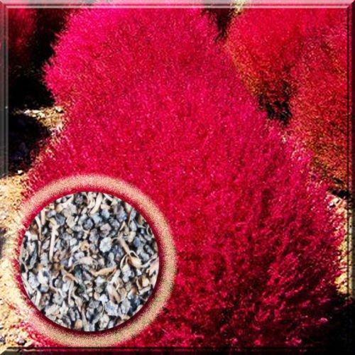 Kochia Bassia Scoparia Burning Bush Ragweed Red Grass Herb Annual Plant Seed