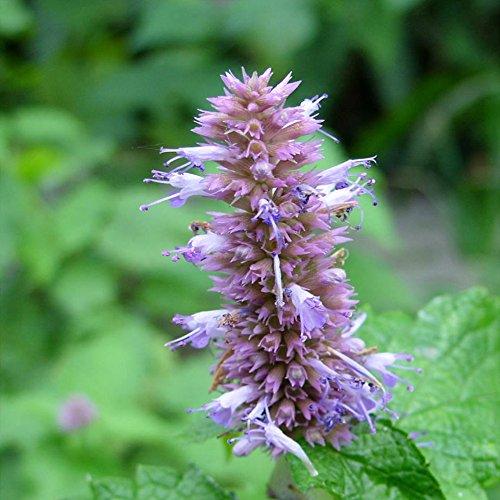 100  Ageratum Lamiaceae Perennial Herbaceous Plants Seeds