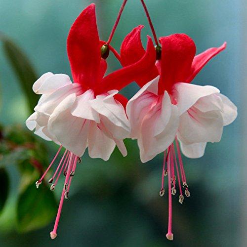 Easyshop 100pcs Garden Courtyard Herbaceous Perennial Flower Chinese Enkianthus Seeds
