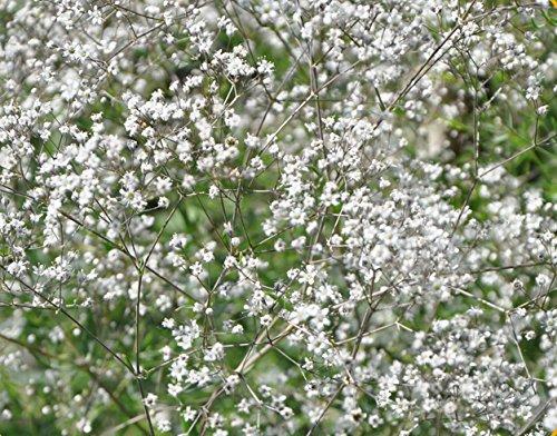 Herbaceous Perennial White Gypsophila Paniculata babys Breath 500 Seeds