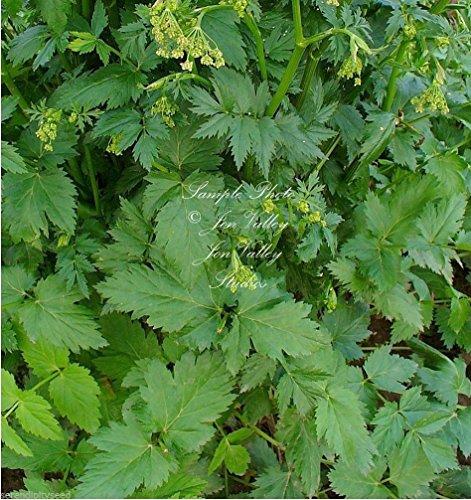 Pimpinella Tirupatiensis Seeds Rare Perennial Herbaceous Plant