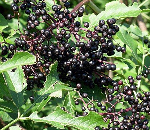 Adams Elderberry Perennial Shrub - Sambucus - 4 Pot